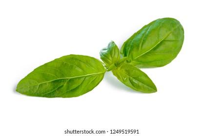 Basil leaves isolated on white background close up