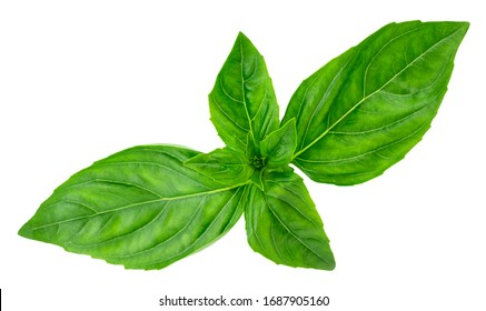 basil leaves isolated on white background with clipping path.