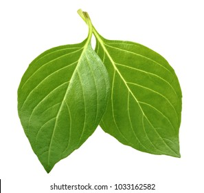 Basil leaves isolated without shadow