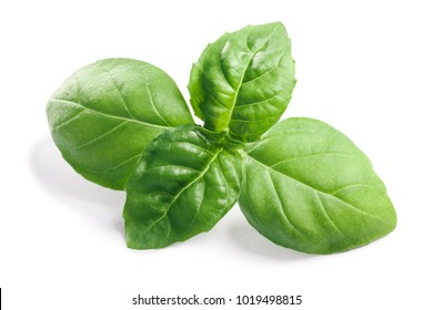 Basil leaves (Ocimum basilicum), fresh leaves. Clipping paths, shadows separated