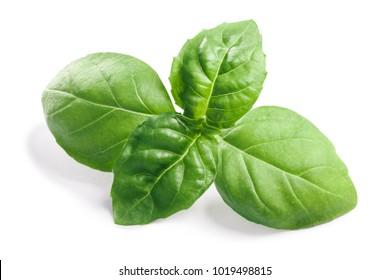 Basil leaves (Ocimum basilicum), fresh leaves. Clipping paths, shadows separated