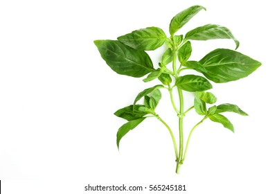 Basil leaves on a white background isolated.