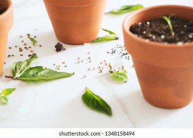 Basil Leaves and seeds, cilantro seeds, and marigold seeds with herb sprout in terracotta pot