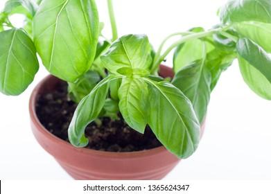 Basil leaves. View of basil leaves at close range. Macro.