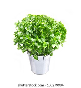 Basil in metal bucket isolated on a white background