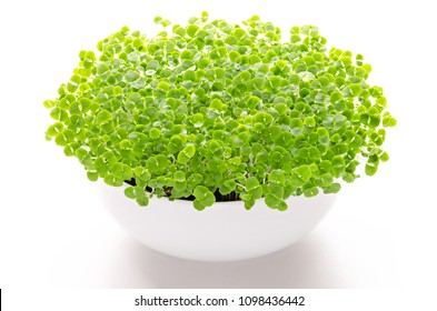 Basil microgreens in white bowl, front view, over white. Sprouts, green seedlings, young plants, leaves and Cotyledons of Ocimum basilicum, also Saint-Joseph's-wort, in potting compost. Macro photo.