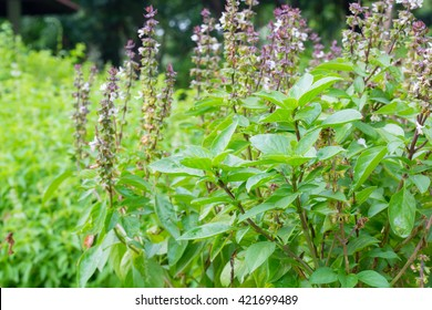 Basil (Ocimum sanctum). Closeup of thai holy basil plants holy basil organic vegetable acreage herb of thailand.