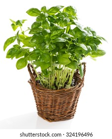 Basil plant in the basket isolated on a white background