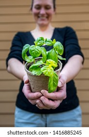 Basil Plant in Focus as Woman Offers to Camera