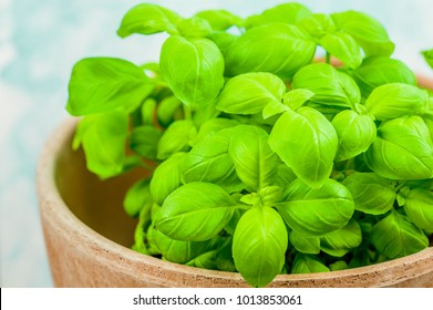 Basil plant in the pot