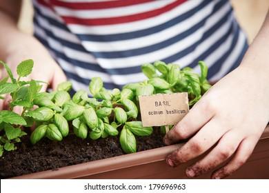 Basil plant in pot on urban garden