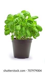 basil plant in pot studio shot