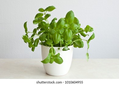Basil plant in white pot on a table with a structured white background.