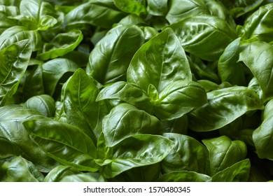 Basil plants closeup on leaf