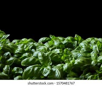Basil plants on black background