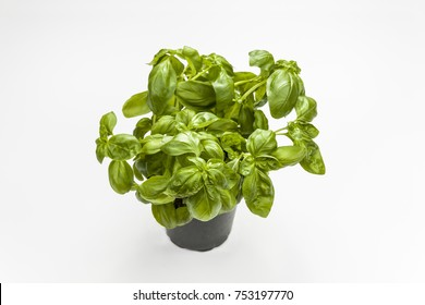 Basil in the pot isolated on white background