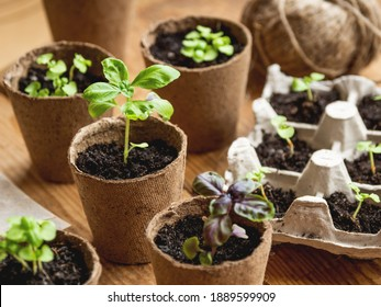 Basil seedlings in biodegradable pots on wooden table. Green plants in peat pots. Baby plants sowing in small pots. Trays for agricultural seedlings. - Shutterstock ID 1889599909