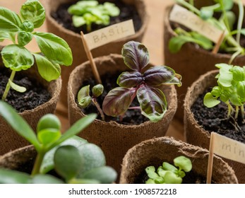 Basil seedlings in biodegradable pots on wooden table. Green plants in peat pots. Baby plants sowing in small pots. Agricultural seedlings of mint and arugula.