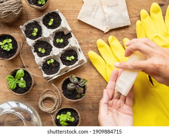 Basil seedlings in biodegradable pots on wooden table. Top view on woman hands with seeds in paper bags. Green plants in peat pots and yellow rubber gloves.