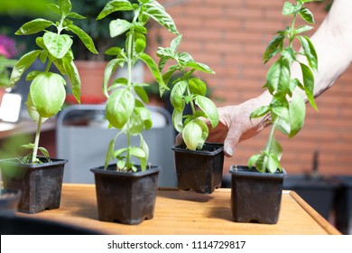 basil seedlings in pots