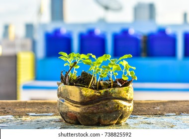 Basil seedlings were planted within used plastic bottles. The one of idea for reuse the garbage for environmental conservation and use a low cost in plant vegetable for eat.