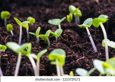 basil sprouts have sprouted in the ground