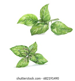 Basil , Sweet Genovese basil and Thai Basil. Watercolor painting isolated on white background.