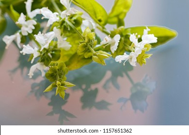 Basil white flowers and their reflection.