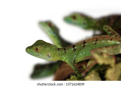 Basiliscus plumifrons - A couple of cute baby green basilisks, also known as double crested basilisk, or Jesus Christ lizard, Only the first out of 4 reptiles is sharp on the isolated white background