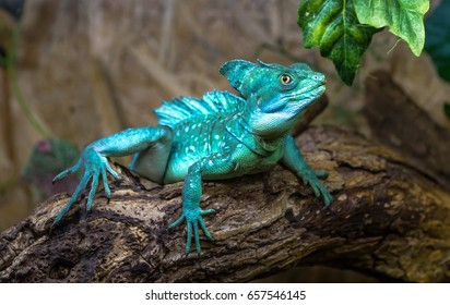 Basiliscus basiliscus sits on a log of wood with leaves.Basiliscus basiliscus - a wood lizard inhabiting the humid tropical forests of Guatemala, Nicaragua, Costa Rica, Colombia and Panama.