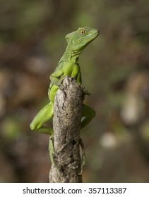 Basilisk, Jesus Christ Lizard clinging to a stump