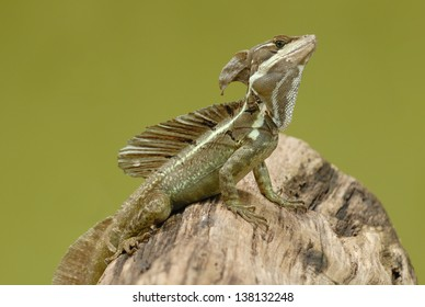 Basilisk Lizard (Basiliscus basiliscus) in Costa Rica rainforest