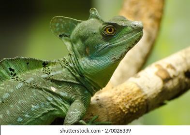 Basilisk lizard at Miami Zoo