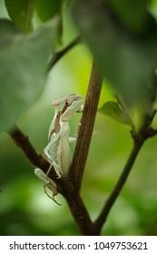 Basilisk . Lizard on branch. Closeup view to Laemanctus serratus. Mexican dragon
