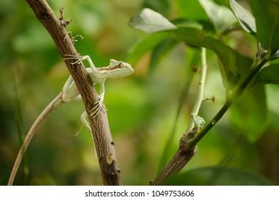 Basilisk . Lizard on branch in green forest
