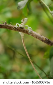 Basilisk . Lizard on branch with long tail.