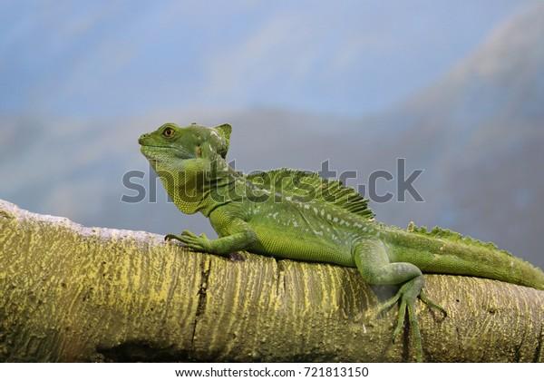 Basiliski, or basilisk (Latin Basiliscus) - a genus of lizards from the family Corytophanidae.