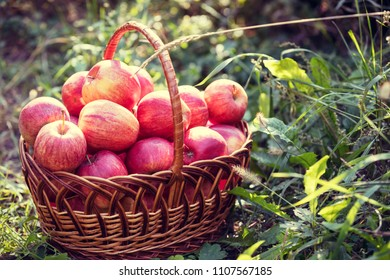 Basket with apples in the grass  in vegetable garden