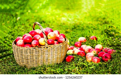 Basket with apples on grass. Basket apples. Apple basket. Basket with apples
