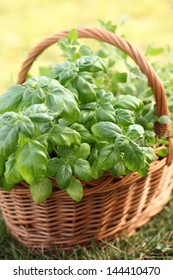 Basket with basil and oregano in the garden.