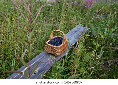 A basket with bilberries on an old grey board among grass. Season: Summer. Location: Western Siberian taiga.