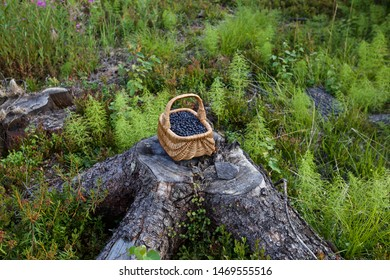 A basket of bilberries on an old tree stump. Season: Summer. Location: Western Siberian taiga.