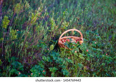 A basket of cloudberries (Rubus chamaemorus) left in a grass. Season: Summer. Location: Western Siberian taiga.