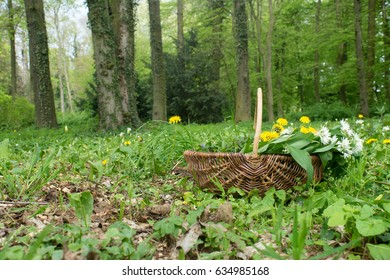 Basket with collected wild herbs in the forest / wild herbs / forest