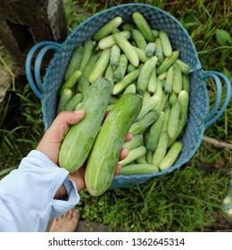 Basket of cucumber, an agriculture product just harvest at Long an, farmer hands hold cucumbers after crop, basket of green fresh fruit let in field