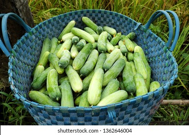 Basket of cucumber, an agriculture product just harvest at Long an, Vietnam, basket of green fresh fruit let in field
