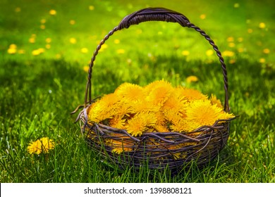 Basket Dandelion outdoors in the grass