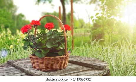 basket with flowers geranium in the garden