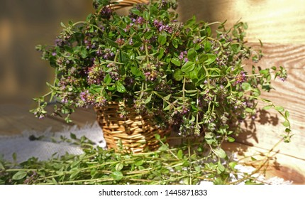 Basket with fragrant thyme flowers Harvesting thyme herb. Medicinal herbs. Collecting herbs