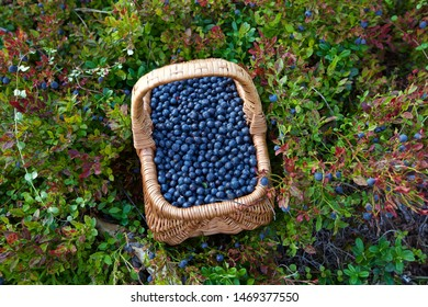 A basket with fresh bilberries (Vaccinium myrtillus). Season: Summer. Location: Western Siberian taiga.